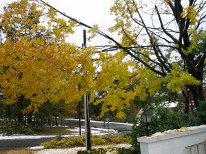 Saturday - split tree two doors down from me - leaves still on tree